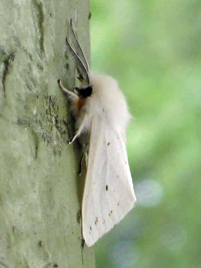 Fall Webworms: Webs in the Trees