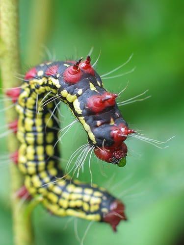 Azalea Caterpillar