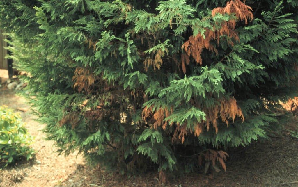 Bot Canker of Leyland Cypress