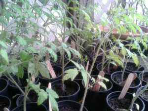 Add Organic Matter, Water Deeply for Healthy Tomato Plants-A Guest Post by Michael Wheele