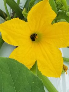 Bees are needed to pollinate squash