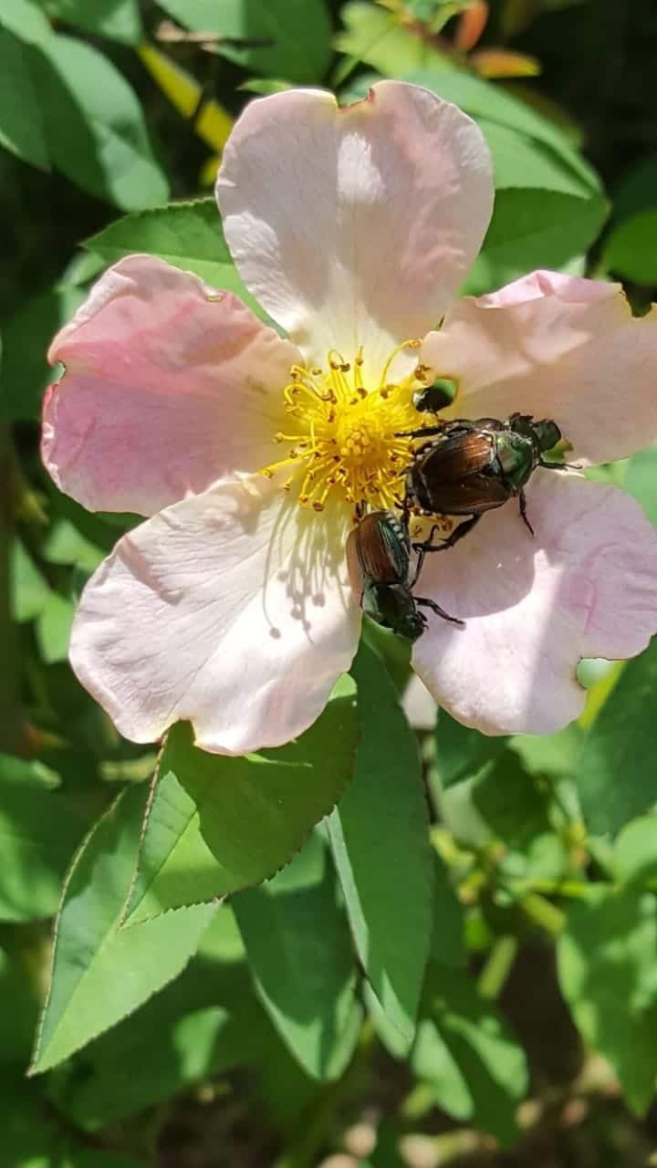 Japanese Beetles 2