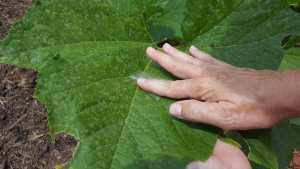Your Garden Mission - Eliminate Squash Bug Eggs