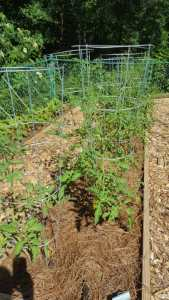 Vegetables should be well mulched.