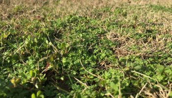 Lawn burweed: What is this weed with sharp spurs in lawns?