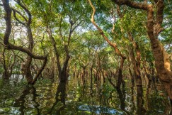 Flooded trees in a mangrove rain forest near Kampong Phluk village in Cambodia. Image Credit: Shutterstock.com