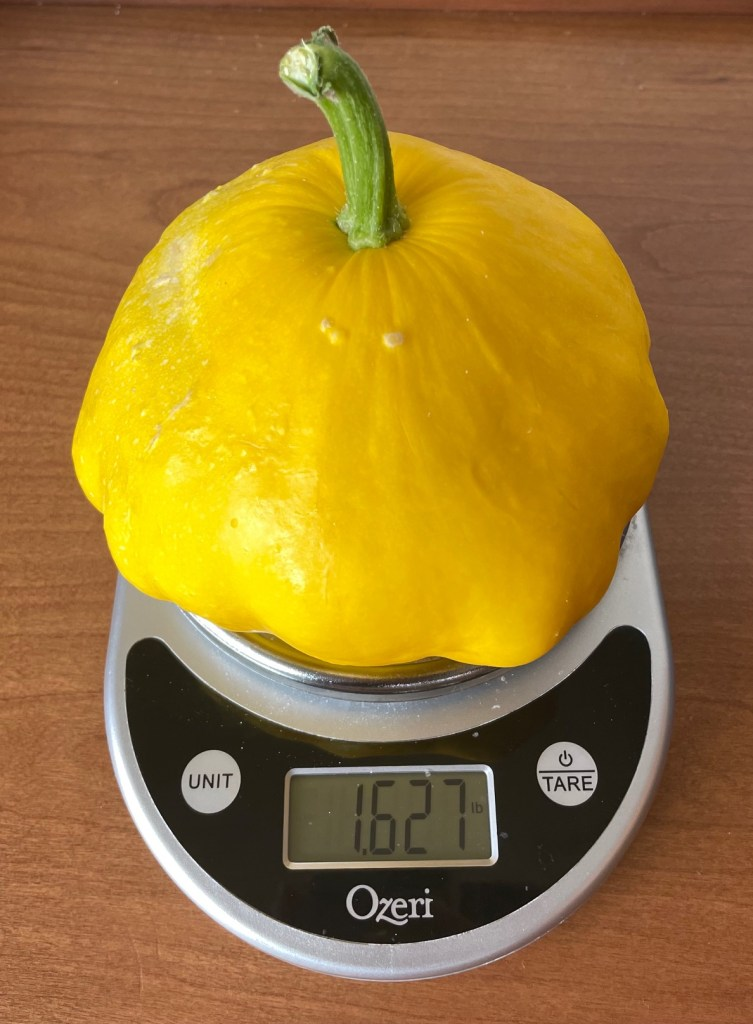 A patty pan squash on a scale reading over one and half pounds