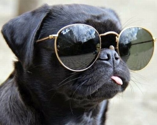pug-sunglasses