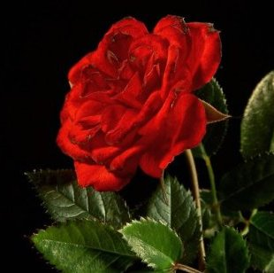 d-sisive-every-rose-has-its-thorn