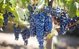 viña viñedo uva