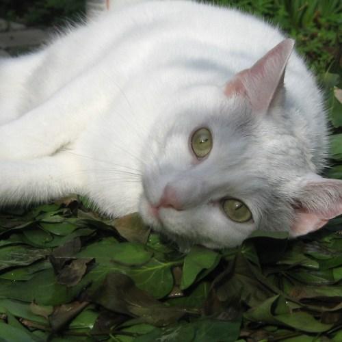 photo: white cat, prone