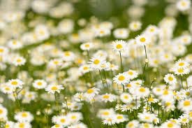 Field of Daisies: a short story