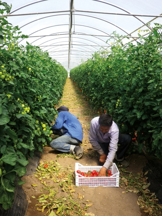 Migrant workers harvesting tomatoes