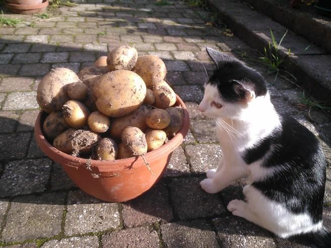 Bella vindt de aardappelen ook interessant