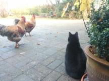 Onze kat heeft ontzag voor de hanen