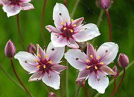 Zwanenbloem (foto: Wikipedia)