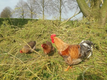 Kippen vinden het snoeiafval interessant