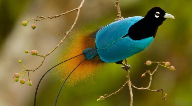 A paradicsommadár
