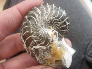A beautiful naulitus, found by Daniel Hogburn on the Isle of Sheppey