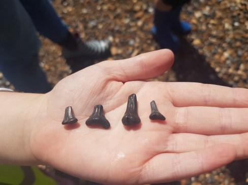 Shark Teeth found by Olivia Birch