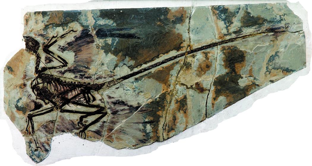 Microraptor gui type specimen