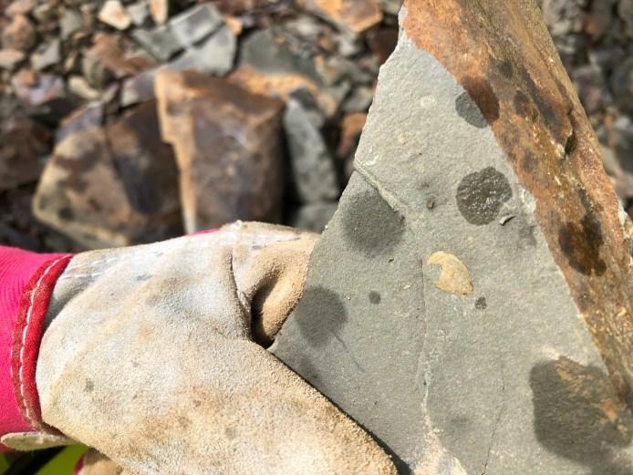 Lingulella found by Paula Borthwick