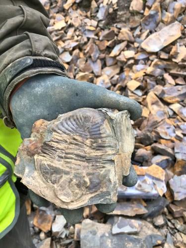 Oxyginus trilobite