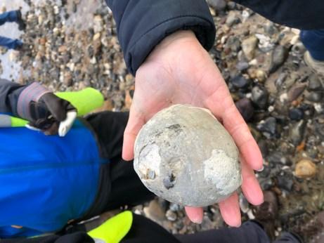 Large chalk echinoid found by Sam Edwards