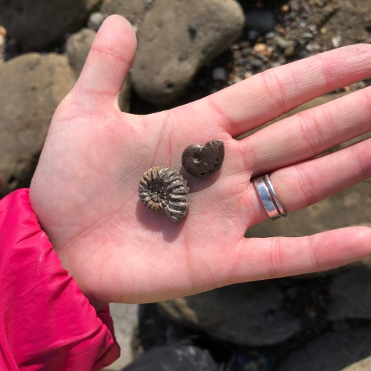 Examples of the varied complete ammonites to be found at Folkestone