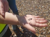 Shark Tooth found by Lewie King