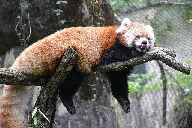 Red Panda Bear Tree Relax Rest  - chacha8080 / Pixabay