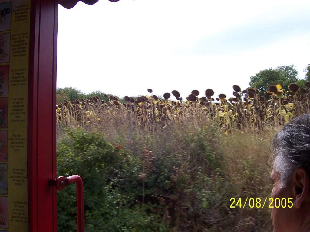 sun flowers growing tall