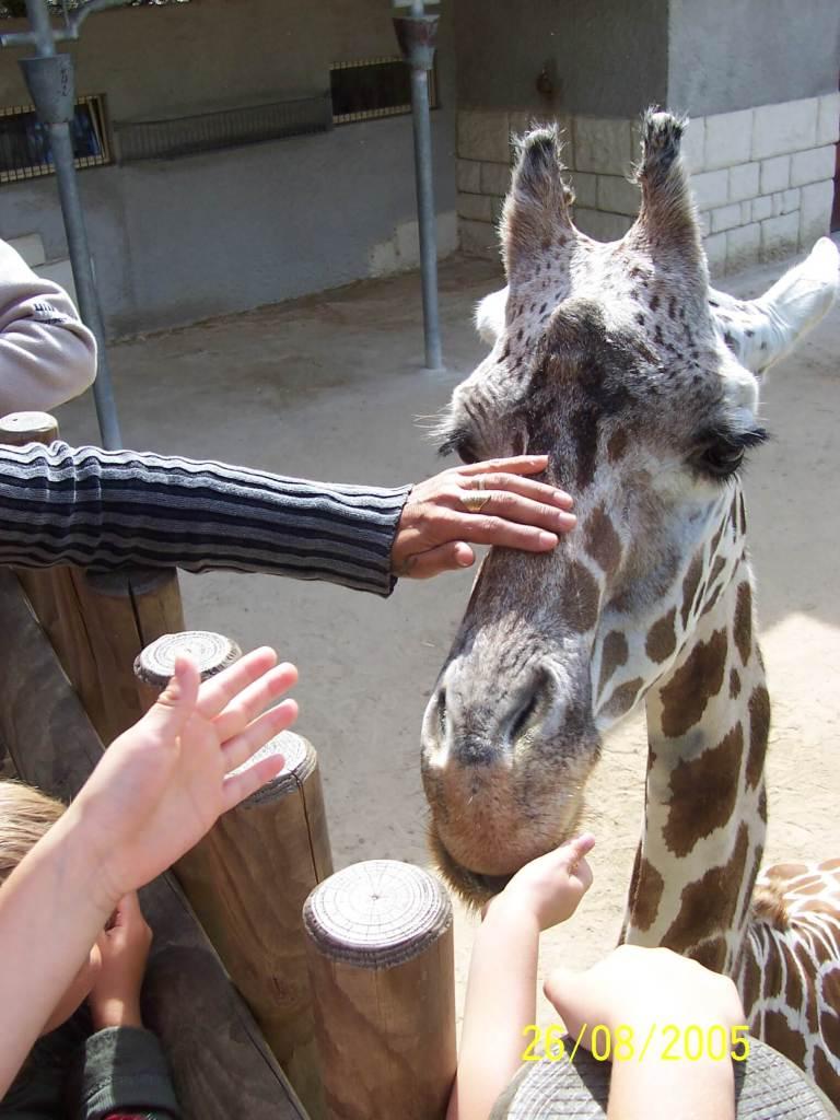 Petting a giraffe at Zoo de la Palmyre