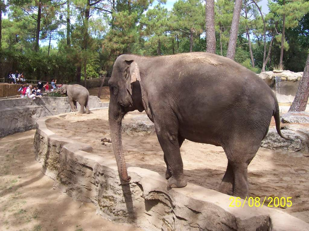 An elephant at Zoo de la Palmyre