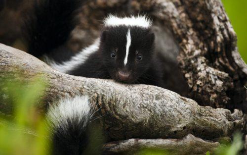 Skunks!