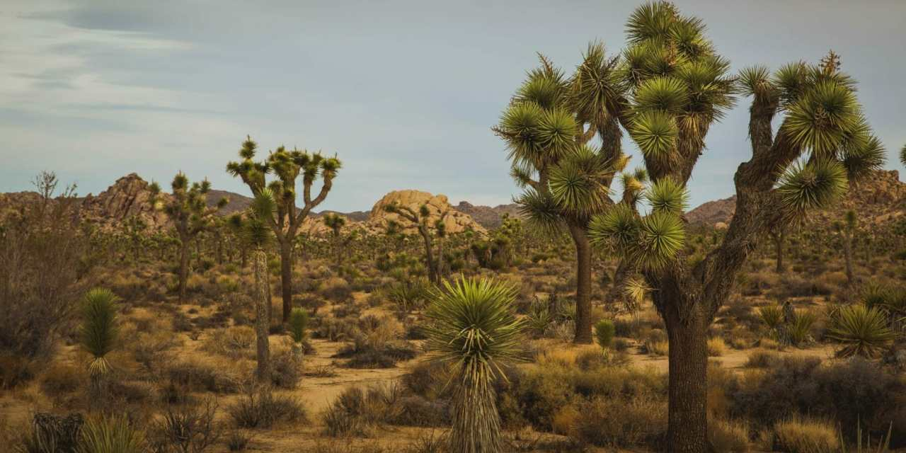 Boy Scout Trail at Joshua Tree National Park