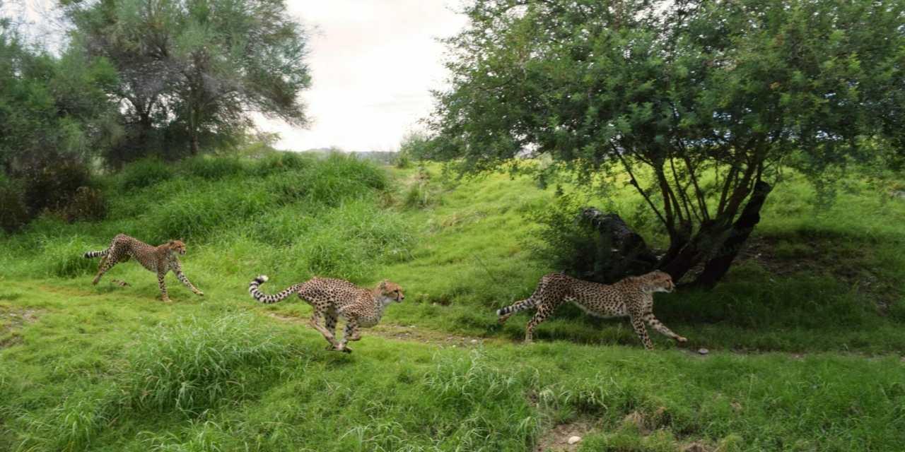 International Cheetah Day Set at Living Desert