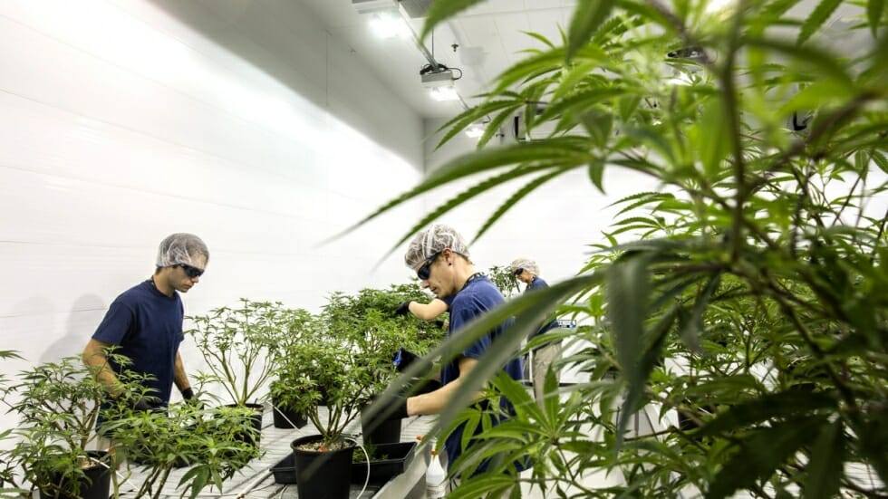 Cannabis Industry Workers Get Government Support