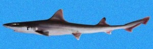 05-some-3.1-million-years-ago-the-smoothound-shark-lived-in-the-waters-covering-the-coachella-valley.