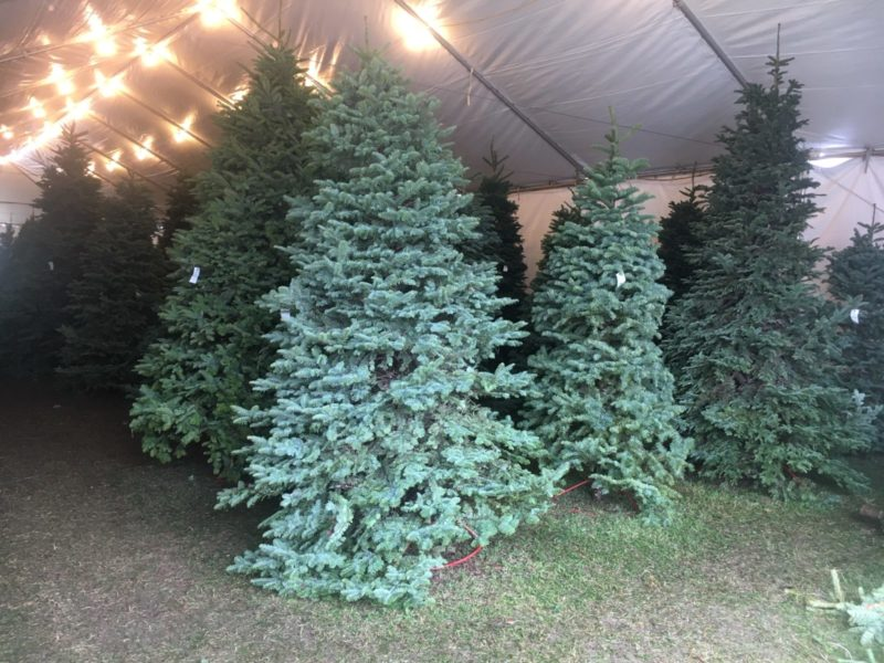 Christmas Trees are Plentiful, Local Retailer Says