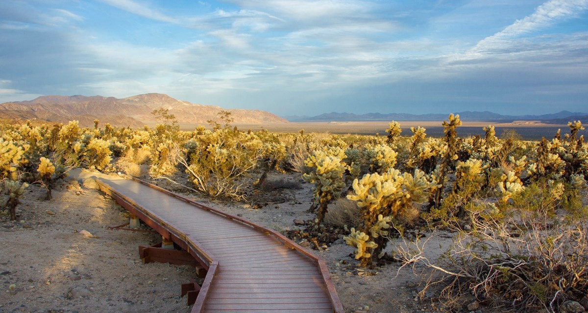 Trail rambles through exotic cholla cactus garden