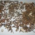 Shark Teeth fossils from Abbey Wood, London