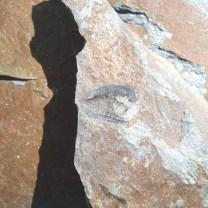 Brachiopod Lingulella davisi