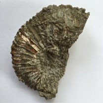 Ringstead Bay Ammonite