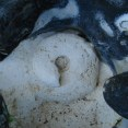 Large chalk gastropod