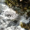 Brachiopods covered in lichens