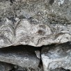 Coral in limestone wall next to layby