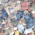 Crinoidal limestone pebbles in the stream