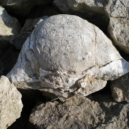 Large brachiopod from the limestone outcrop