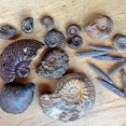Ammonites and Belemnites from Tidmoor Point